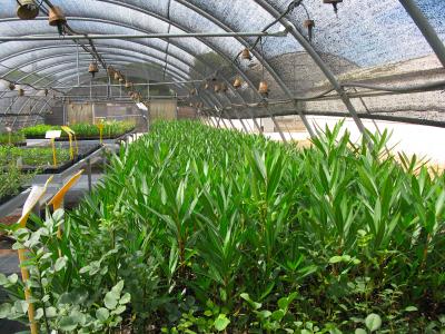 Baladre (Nerium oleander).