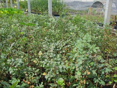 Freixe (Fraxinus angustifolia).