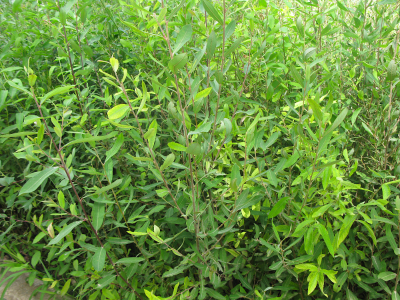 Gatell (Salix atrocinerea).