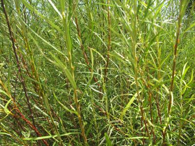 Saliguera (Salix eleagnos).