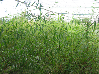 Salze (Salix alba).