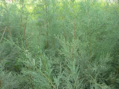 Tamariu (Tamarix canariensis).