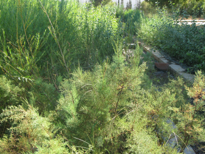 Producció de planta de ribera als vivers del CIEF.