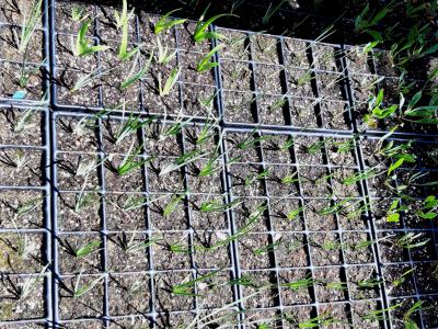 Cultiu d'Iris spurhia. Especie vulnerable.