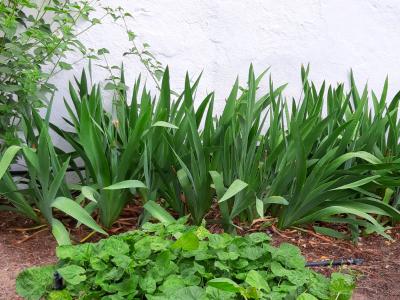 Desenvolupament òptim d'Iris spurhia en rocall educatiu.