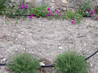 Lathyrus pulcher i Thymbra capitata en rocall educatiu.
