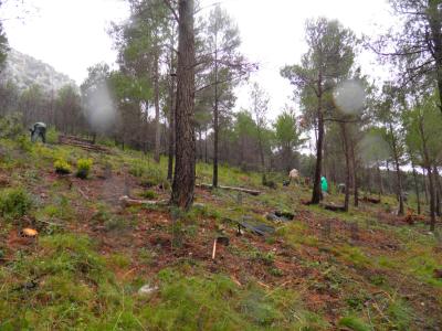 Plantació en àrea forestal.