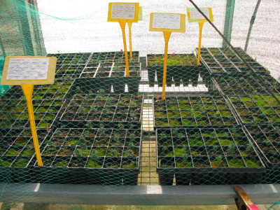 Cultiu de Taxus baccata, teix.