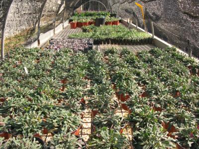 Cultiu de varietats de Limonium.