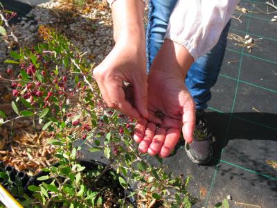 Llavors de Maytenus senegalensis subsp. europaeus.