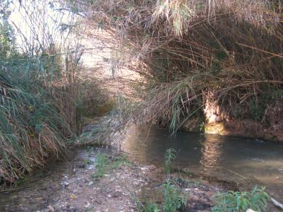 Canya comuna (Arundo donax).