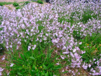 Exemplars en floració en el viver.